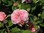 Nostalgie®-Edelrose 'Schöne Maid' ®, Rosa 'Schöne Maid' ®, Wurzelware