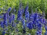 Pacific-Rittersporn 'Blue Bird', Delphinium x cultorum Pacific 'Blue Bird', Topfware