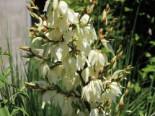 Palmlilie 'Bright Edge', Yucca filamentosa 'Bright Edge', Topfware