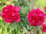 Pfingstrose 'Karl Rosenfield', Paeonia lactiflora 'Karl Rosenfield', Topfware