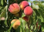 Pfirsich 'Red Haven', Stamm 40-60 cm, 120-160 cm, Prunus persica 'Red Haven', Wurzelware