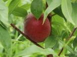 Pfirsich 'Rekord von Alfter', 120-160 cm, Prunus persica 'Rekord von Alfter', Containerware