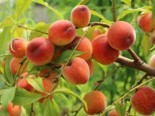 Pfirsich 'Revita' (S), Stamm 40-60 cm, 120-140 cm, Prunus persica 'Revita' (S), Containerware