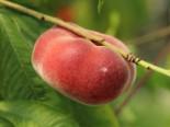 Tellerpfirsich / Plattpfirsich, Stamm 40-60 cm, 100-125 cm, Prunus persica, Containerware