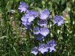 Pfirsichblättrige Glockenblume 'Grandiflora Coerulea', Campanula persicifolia 'Grandiflora Coerulea', Topfware