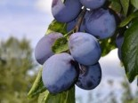 Pflaume 'Stanley', Stamm 40-60 cm, 120-160 cm, Prunus domestica 'Stanley', Containerware