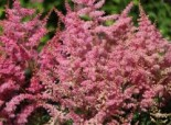 Prachtspiere 'Younique Pink', Astilbe japonica 'Younique Pink' ®, Containerware