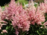 Prachtspiere 'Younique Silver Pink' ®, Astilbe x cultorum 'Younique Silver Pink' ®, Topfware