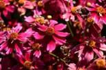 Quirlblättriges Mädchenauge 'Red Ruby', Coreopsis verticillata 'Red Ruby', Topfware