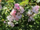 Ramblerrose 'Perennial Blush', Rosa 'Perennial Blush', Containerware