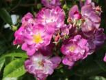 Ramblerrose 'Veilchenblau', Rosa 'Veilchenblau', Containerware