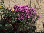 Raublatt-Aster 'Barr's Pink', Aster novae-angliae 'Barr's Pink', Topfware