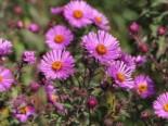 Raublatt-Aster 'Herbstflieder', Aster novae-angliae 'Herbstflieder', Topfware
