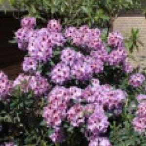 Rhododendron 'Alexis', 30-40 cm, Rhododendron Hybride 'Alexis', Containerware