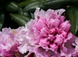 Rhododendron 'Annika', 25-30 cm, Rhododendron yakushimanum 'Annika', Containerware