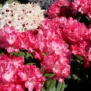 Rhododendron 'Anuschka', 30-40 cm, Rhododendron yakushimanum 'Anuschka', Containerware