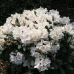 Rhododendron 'Apollonia', 25-30 cm, Rhododendron yakushimanum 'Apollonia', Containerware