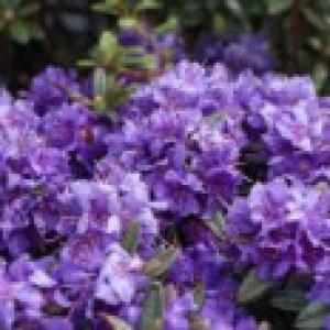 Rhododendron 'Azurika', 20-25 cm, Rhododendron impeditum 'Azurika', Containerware