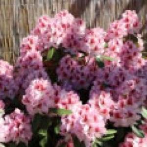 Rhododendron 'Belami' ®, 40-50 cm, Rhododendron Hybride 'Belami' ®, Containerware