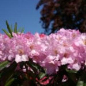 Rhododendron 'Bellefontaine', 30-40 cm, Rhododendron Hybride 'Bellefontaine', Containerware