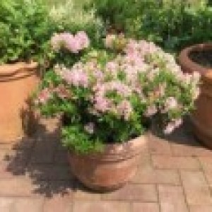 Rhododendron 'Bloombux' ® (Pink), 10-15 cm, Rhododendron micranthum 'Bloombux' ® (Pink), Topfware