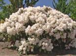 Rhododendron 'Schneekissen', 20-25 cm, Rhododendron yakushimanum 'Schneekissen', Containerware