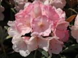 Rhododendron 'Yaku Sunrise', 25-30 cm, Rhododendron yakushimanum 'Yaku Sunrise', Containerware