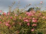Rosa Puderquastenstrauch 'Dixie Pink', Stamm 40-50 cm, 60-80 cm, Calliandra surinamensis 'Dixie Pink', Stämmchen