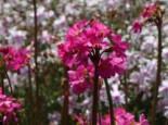 Rosen Schlüsselblume, Primula rosea, Topfware