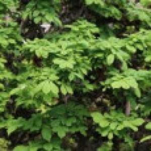 Rosskastanie 'Monstrosa', Stamm 50 cm, 60-80 cm, Aesculus hippocastanum 'Monstrosa', Stämmchen