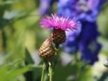Rotblühende Flockenblume 'Steenbergii', Centaurea dealbata 'Steenbergii', Topfware
