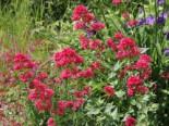 Rotblühende Spornblume 'Rosenrot', Centranthus ruber 'Rosenrot', Topfware