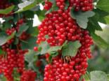 Rote Johannisbeere 'Rovada', Stamm 80-90 cm, 100-130 cm, Ribes rubrum 'Rovada', Stämmchen