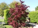 Roter Fächer-Ahorn 'Bloodgood', 60-80 cm, Acer palmatum 'Bloodgood', Containerware