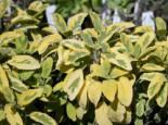 Salbei 'Aurea', Salvia officinalis 'Aurea', Topfware