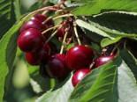 Sauerkirsche 'Achat' (S), Stamm 40-60 cm, 120-160 cm, Prunus cerasus 'Achat' (S), Containerware