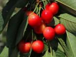Sauerkirsche 'Heimanns Rubinweichsel', Stamm 40-60 cm, 120-160 cm, Prunus 'Heimanns Rubinweichsel', Wurzelware