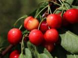 Sauerkirsche 'Morellenfeuer' / 'Kelleriis 16', Stamm 40-60 cm, 120-160 cm, Prunus 'Morellenfeuer' / 'Kelleriis 16', Wurzelware
