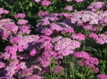 Schafgarbe 'Pretty Belinda', Achillea millefolium 'Pretty Belinda', Topfware