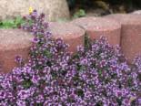 Scharlachroter Feld-Thymian 'Coccineus', Thymus serpyllum 'Coccineus', Topfware