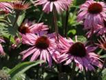 Scheinsonnenhut 'Augustkönigin', Echinacea purpurea 'Augustkönigin', Topfware