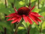 Scheinsonnenhut 'Hot Lava', Echinacea purpurea 'Hot Lava', Topfware