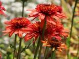 Scheinsonnenhut 'Irresistible', Echinacea purpurea 'Irresistible', Topfware