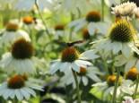 Scheinsonnenhut 'PowWow White', Echinacea purpurea 'PowWow White', Topfware
