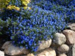 Schein-Steinsame 'Heavenly Blue', Lithodora diffusa 'Heavenly Blue', Topfware