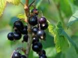 Schwarze Johannisbeere 'Ben Sarek', 30-40 cm, Ribes nigrum 'Ben Sarek', Containerware