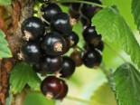 Schwarze Johannisbeere 'Öjebyn', 30-40 cm, Ribes nigrum 'Öjebyn', Containerware