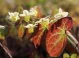 Schwefelfarbige Elfenblume 'Sulphureum', Epimedium x versicolor 'Sulphureum', Topfware
