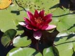 Seerose 'Froebeli', Nymphaea x cultorum 'Froebeli', Topfware