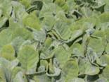 Silberblatt Salbei, Salvia argentea, Topfware
